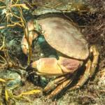 Krabbe Krølle